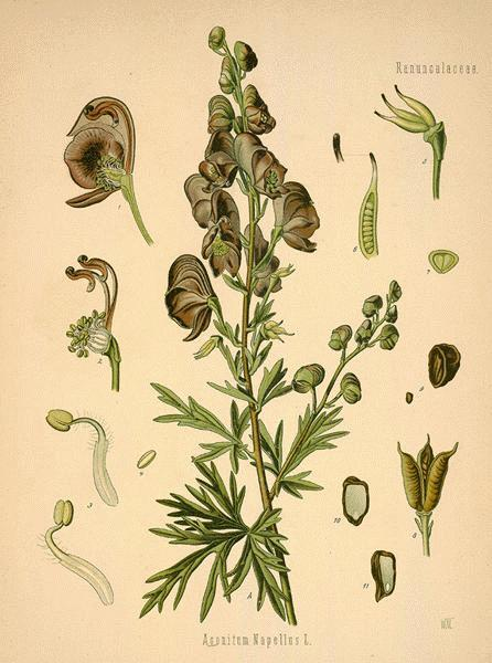 A Modern Herbal | Aconite Herb