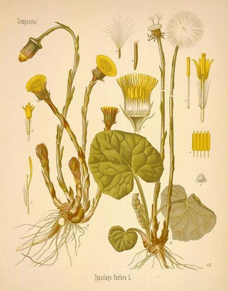 Photo:Tussilago Farfara - 'Colt's Foot'