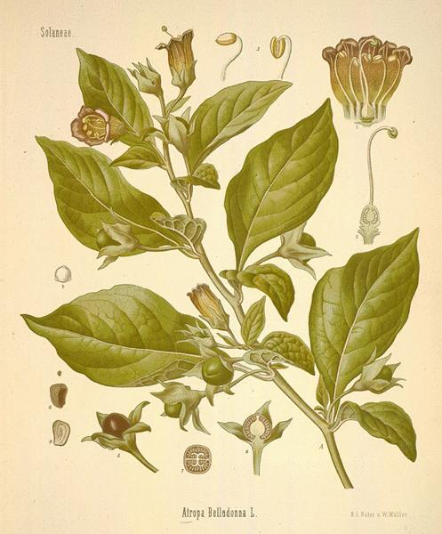 A Modern Herbal | Nightshade, Deadly
