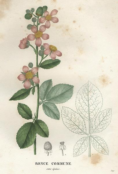 https://www.botanical.com/botanical/mgmh/b/blaber49-l.jpg