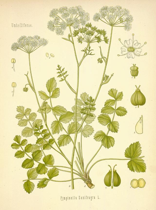 Pimpinella Saxifraga Homeopathy Pimpinella Saxifraga