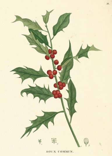 a modern herbal holly