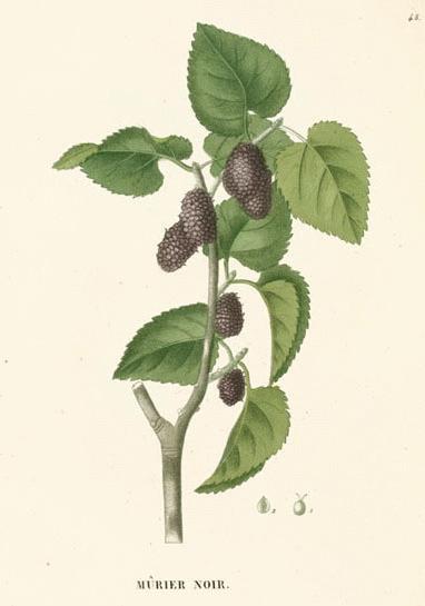3e92fa5d66 Black Mulberry (Morus nigra LINN.) Click on graphic for larger image