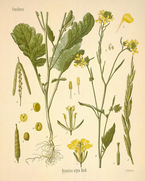 Mustard Plant Drawing Black Mustard
