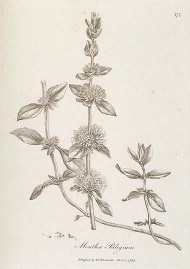 A Modern Herbal Pennyroyal
